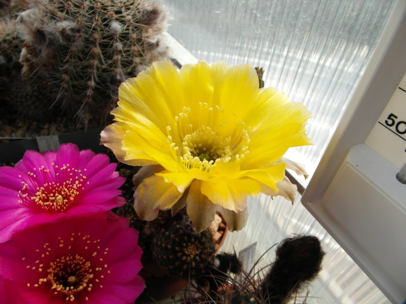 Cacti and Sukkulent in Köln, every day new flowers in the greenhouse Part 54 Bild_174
