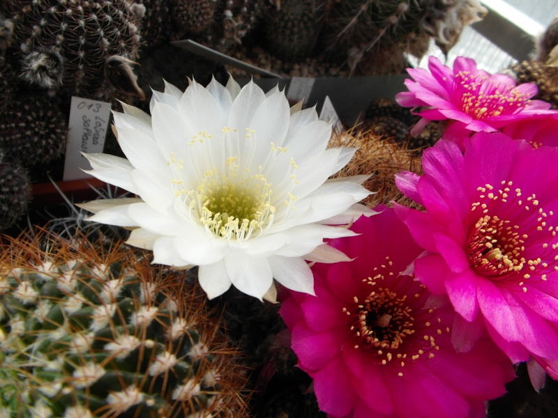 Cacti and Sukkulent in Köln, every day new flowers in the greenhouse Part 54 Bild_175