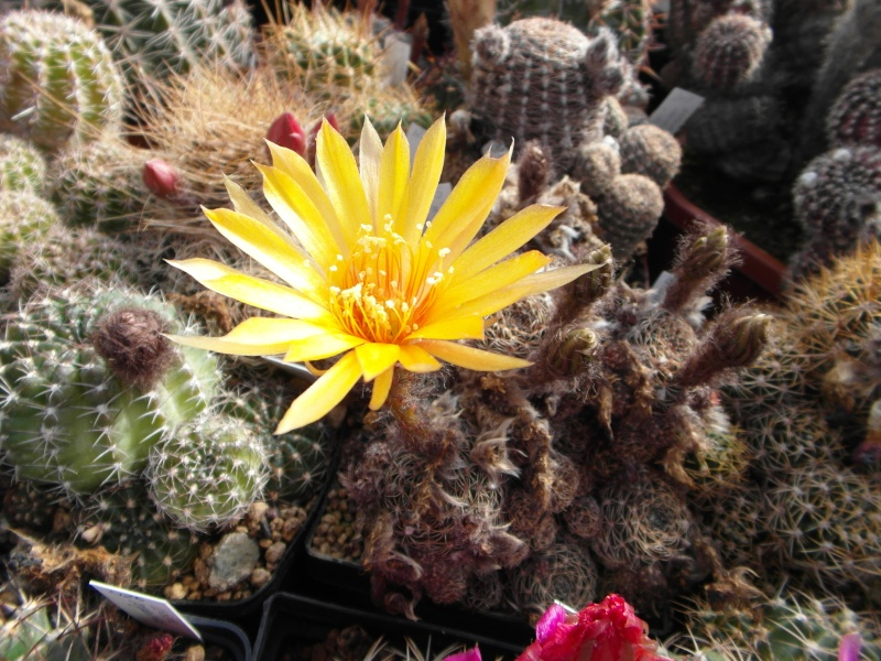Cacti and Sukkulent in Köln, every day new flowers in the greenhouse Part 54 Bild_176