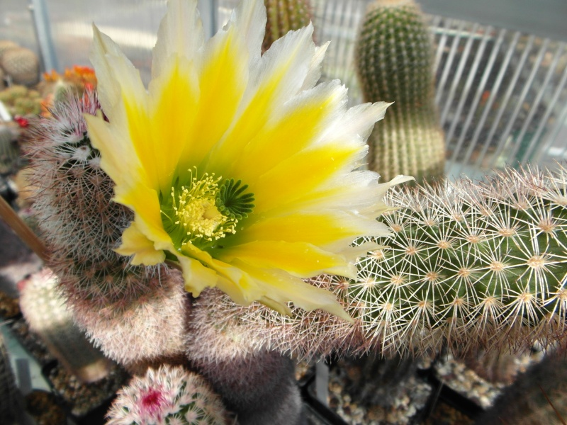 Cacti and Sukkulent in Köln, every day new flowers in the greenhouse Part 54 Bild_179
