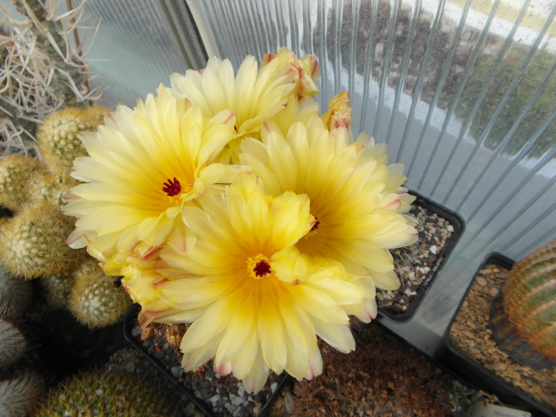 Cacti and Sukkulent in Köln, every day new flowers in the greenhouse Part 54 Bild_186