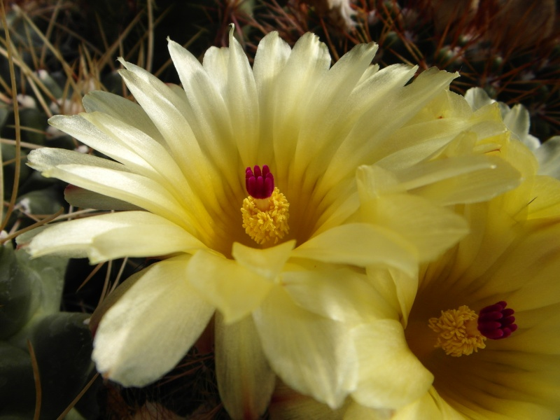 Cacti and Sukkulent in Köln, every day new flowers in the greenhouse Part 54 Bild_192