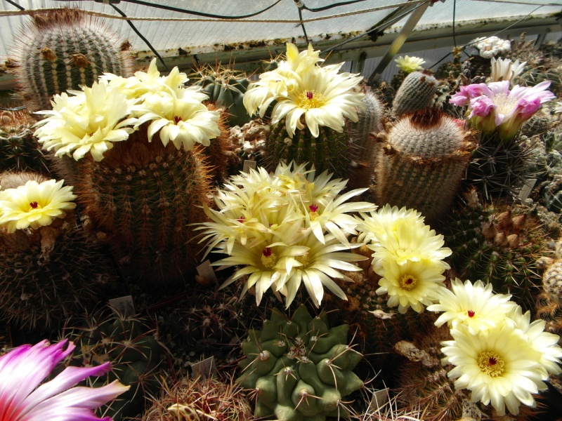Cacti and Sukkulent in Köln, every day new flowers in the greenhouse Part 54 Bild_193