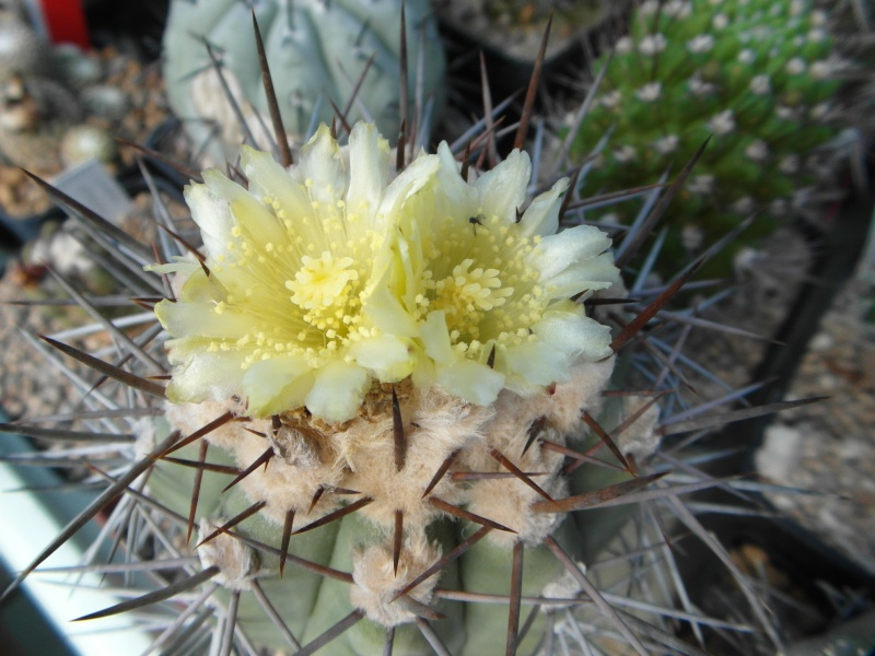 Cacti and Sukkulent in Köln, every day new flowers in the greenhouse Part 54 Bild_197