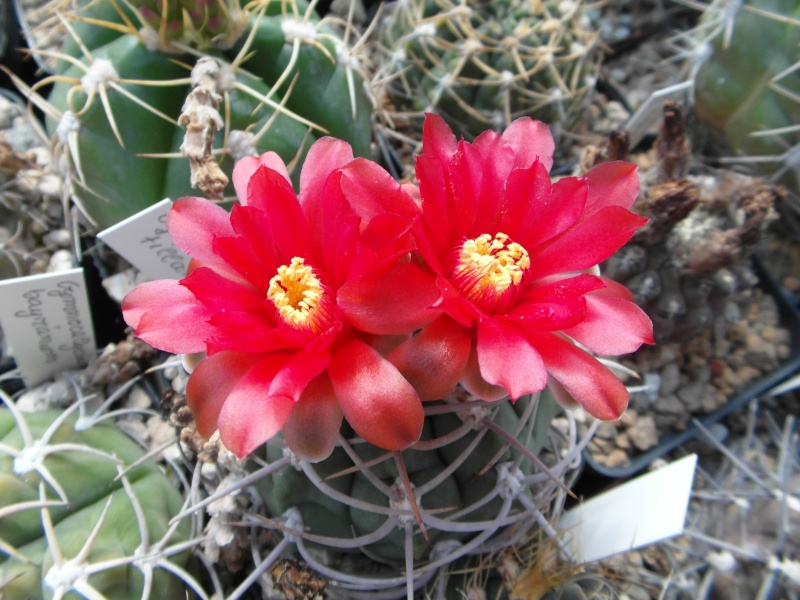 Cacti and Sukkulent in Köln, every day new flowers in the greenhouse Part 54 Bild_205