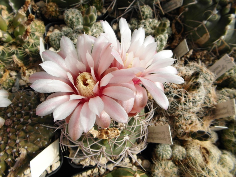 Cacti and Sukkulent in Köln, every day new flowers in the greenhouse Part 54 Bild_209