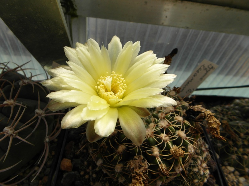 Cacti and Sukkulent in Köln, every day new flowers in the greenhouse Part 54 Bild_212