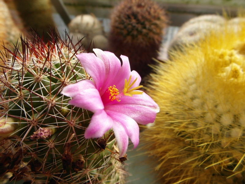 Cacti and Sukkulent in Köln, every day new flowers in the greenhouse Part 54 Bild_219