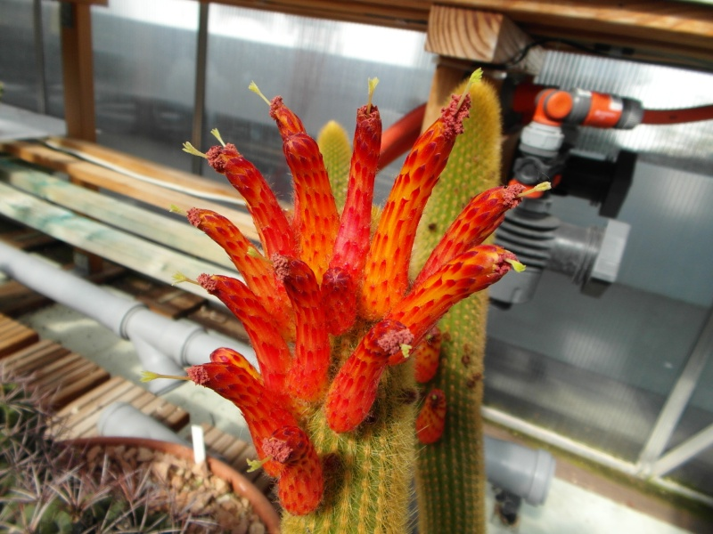 Cacti and Sukkulent in Köln, every day new flowers in the greenhouse Part 54 Bild_221