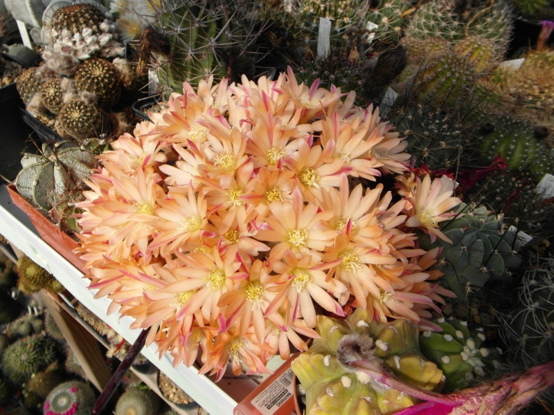 Cacti and Sukkulent in Köln, every day new flowers in the greenhouse Part 54 Bild_231