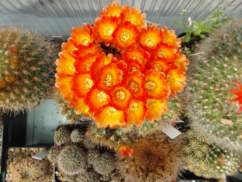 Cacti and Sukkulent in Köln, every day new flowers in the greenhouse Part 54 Bild_232