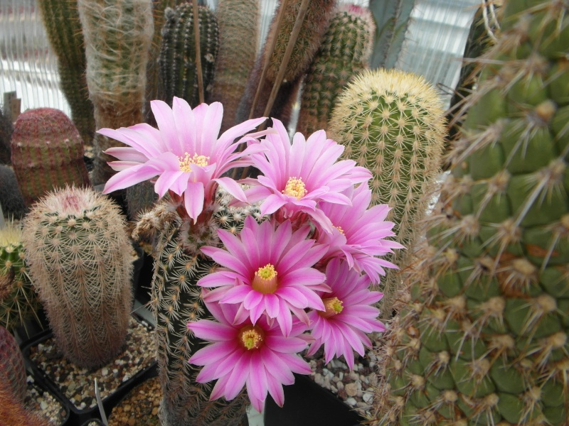 Cacti and Sukkulent in Köln, every day new flowers in the greenhouse Part 54 Bild_234