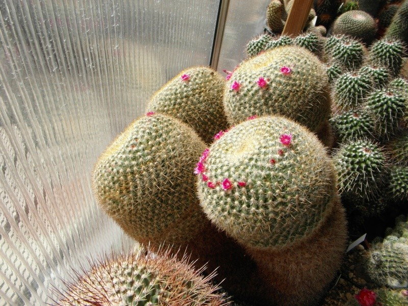 Cacti and Sukkulent in Köln, every day new flowers in the greenhouse Part 54 Bild_243