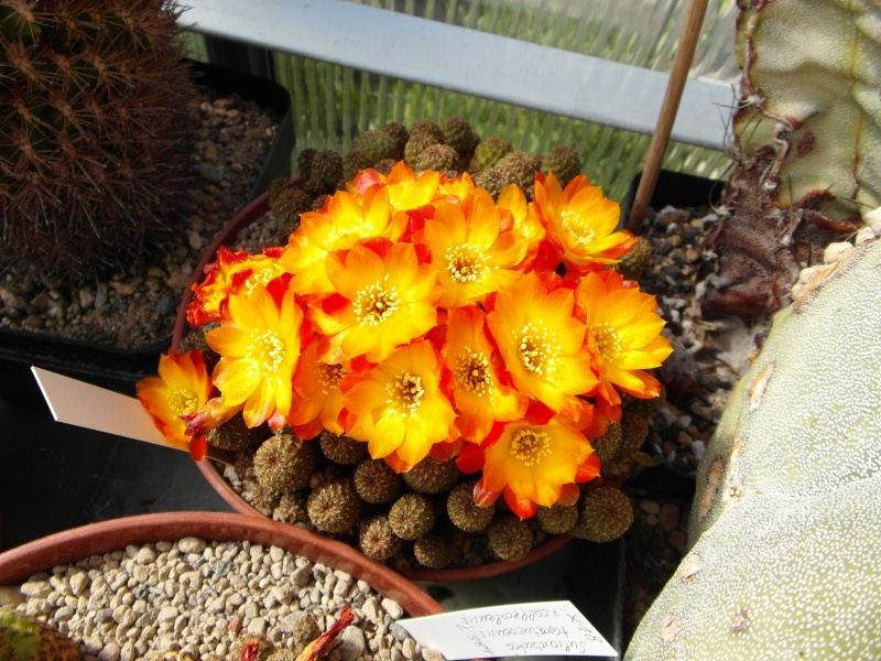 Cacti and Sukkulent in Köln, every day new flowers in the greenhouse Part 54 Bild_244