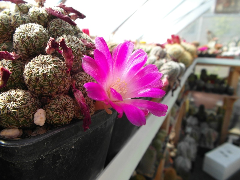 Cacti and Sukkulent in Köln, every day new flowers in the greenhouse Part 54 Bild_251