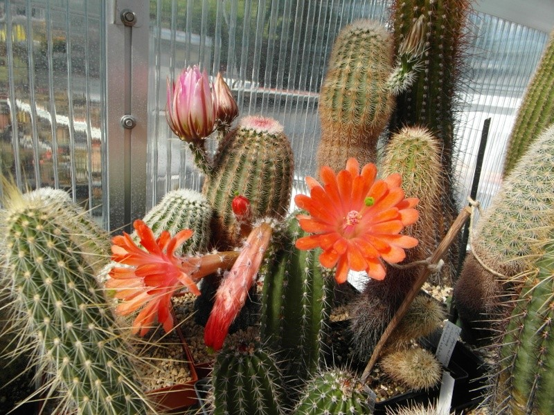 Cacti and Sukkulent in Köln, every day new flowers in the greenhouse Part 54 Bild_254