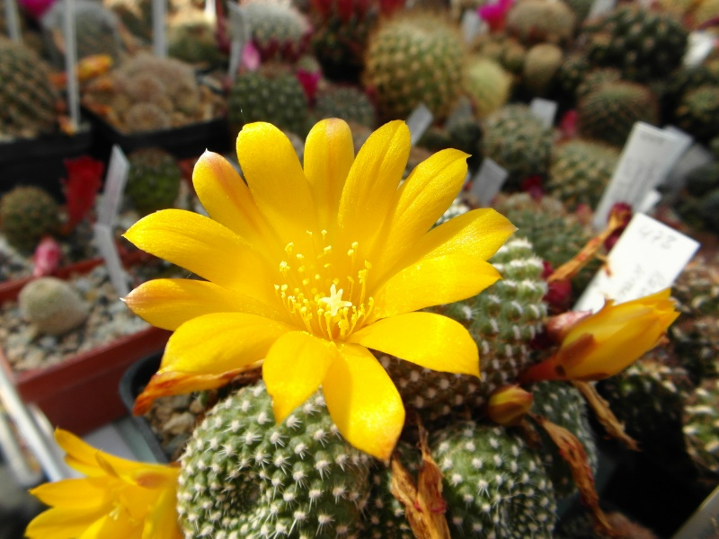 Cacti and Sukkulent in Köln, every day new flowers in the greenhouse Part 54 Bild_256