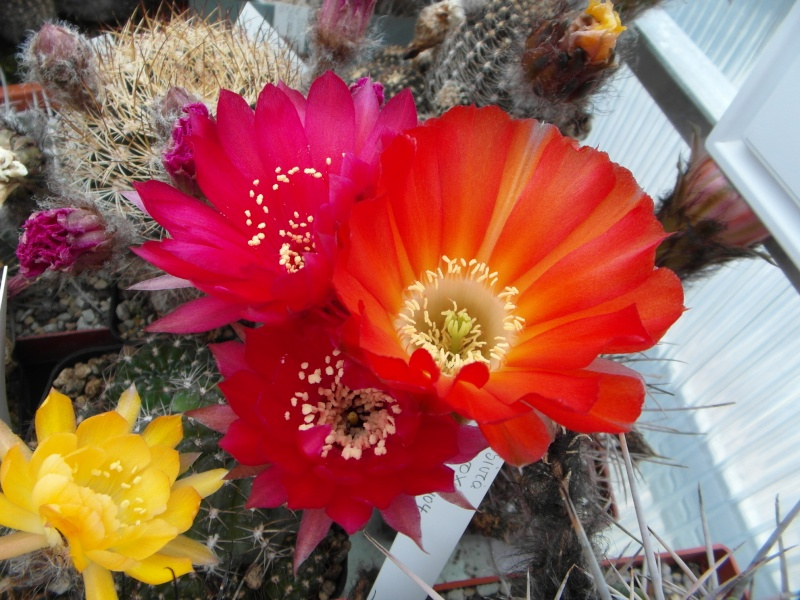 Cacti and Sukkulent in Köln, every day new flowers in the greenhouse Part 54 Bild_259