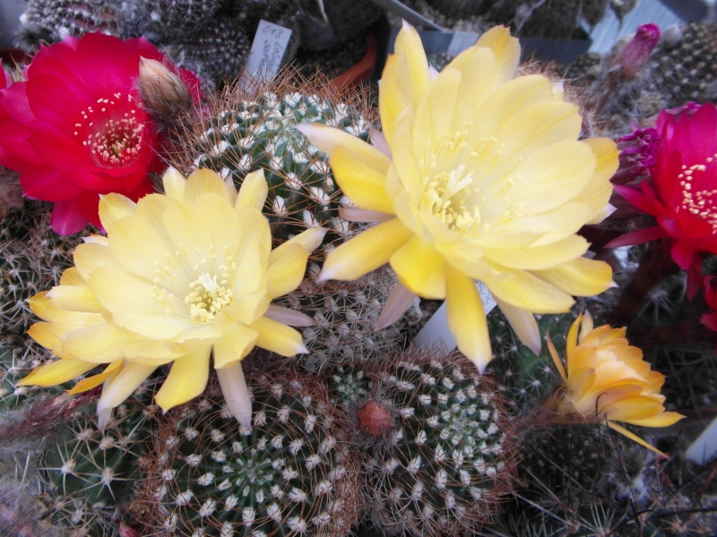 Cacti and Sukkulent in Köln, every day new flowers in the greenhouse Part 54 Bild_260