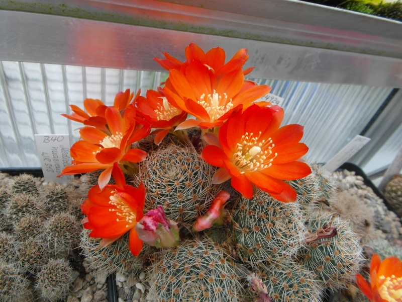 Cacti and Sukkulent in Köln, every day new flowers in the greenhouse Part 54 Bild_266