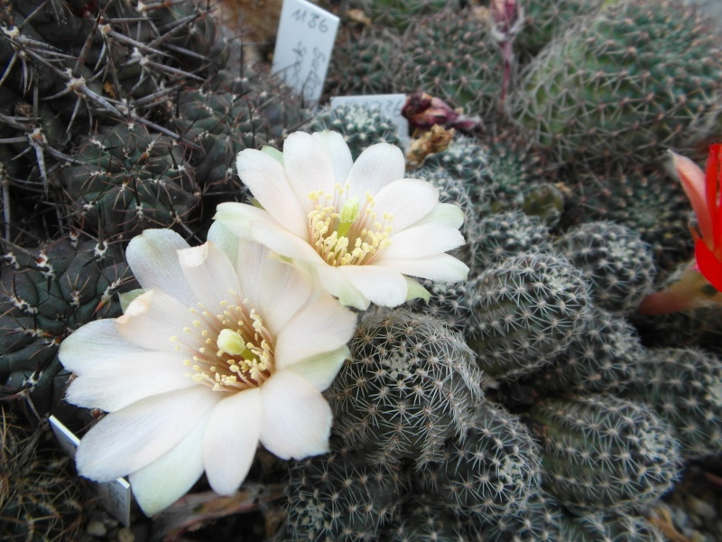 Cacti and Sukkulent in Köln, every day new flowers in the greenhouse Part 54 Bild_267