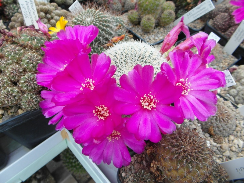 Cacti and Sukkulent in Köln, every day new flowers in the greenhouse Part 54 Bild_273
