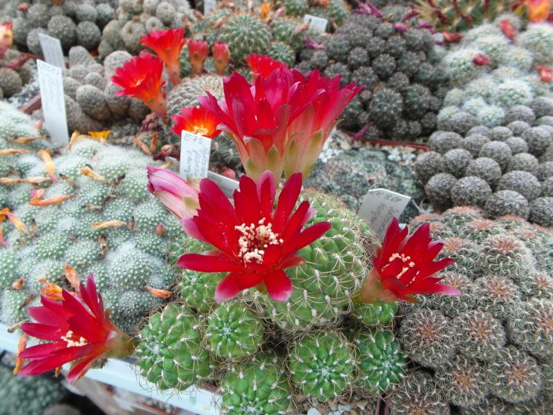 Cacti and Sukkulent in Köln, every day new flowers in the greenhouse Part 54 Bild_274