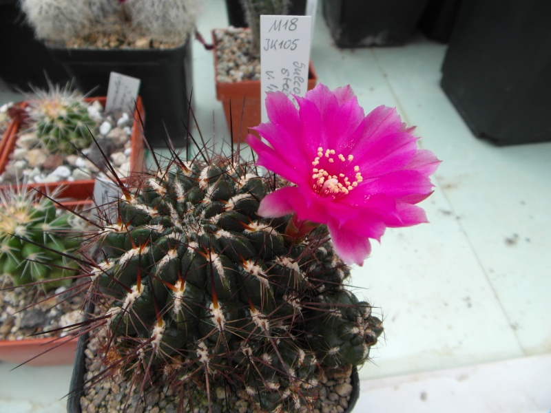 Cacti and Sukkulent in Köln, every day new flowers in the greenhouse Part 54 Bild_277