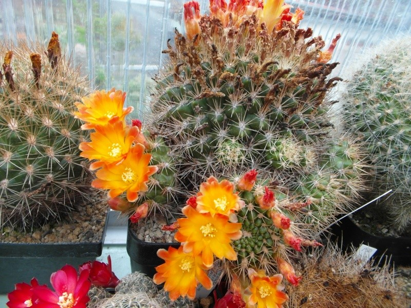 Cacti and Sukkulent in Köln, every day new flowers in the greenhouse Part 54 Bild_278