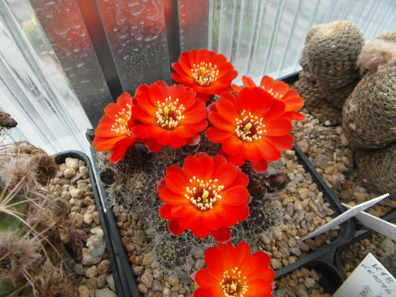 Cacti and Sukkulent in Köln, every day new flowers in the greenhouse Part 54 Bild_280