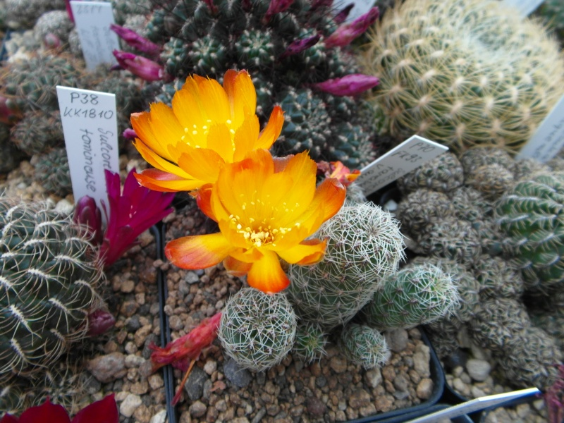 Cacti and Sukkulent in Köln, every day new flowers in the greenhouse Part 54 Bild_283