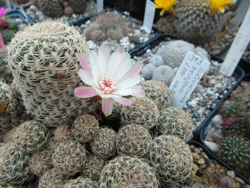 Cacti and Sukkulent in Köln, every day new flowers in the greenhouse Part 54 Bild_286