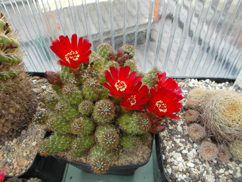Cacti and Sukkulent in Köln, every day new flowers in the greenhouse Part 54 Bild_290