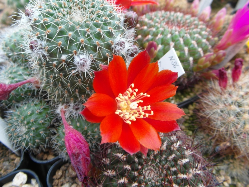 Cacti and Sukkulent in Köln, every day new flowers in the greenhouse Part 54 Bild_295