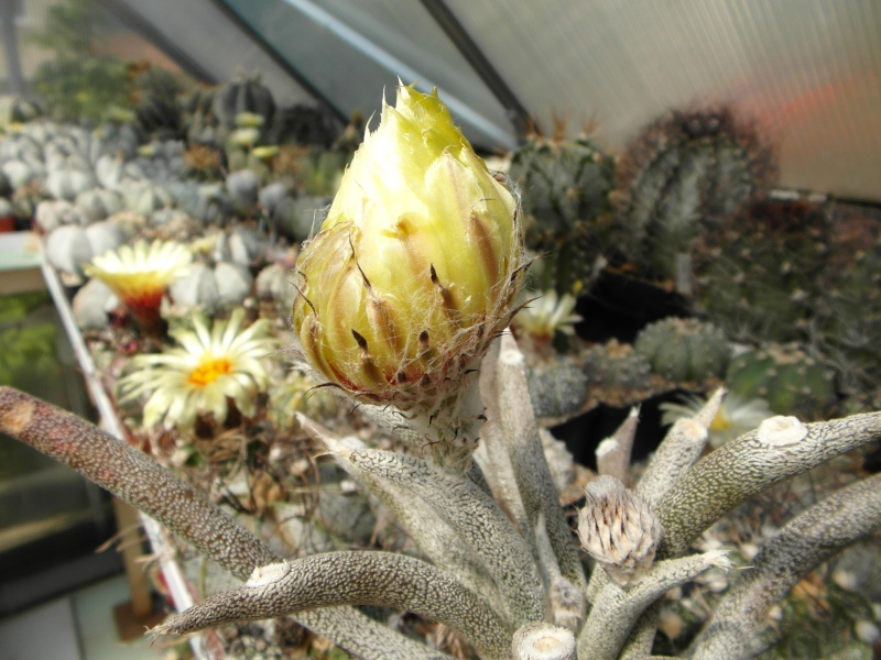 Cacti and Sukkulent in Köln, every day new flowers in the greenhouse Part 55 Bild_306