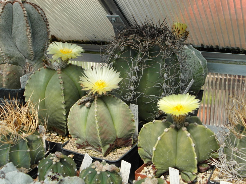Cacti and Sukkulent in Köln, every day new flowers in the greenhouse Part 55 Bild_313