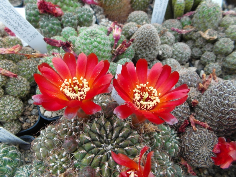 Cacti and Sukkulent in Köln, every day new flowers in the greenhouse Part 55 Bild_360