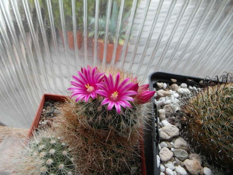 Cacti and Sukkulent in Köln, every day new flowers in the greenhouse Part 55 Bild_371