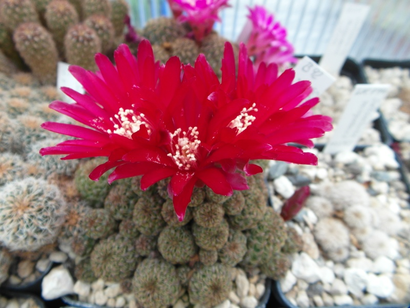 Cacti and Sukkulent in Köln, every day new flowers in the greenhouse Part 55 Bild_395