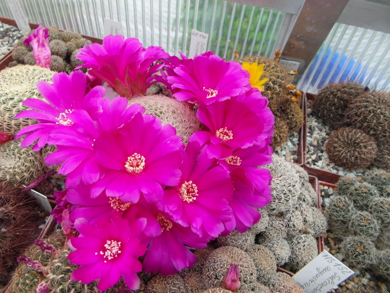 Cacti and Sukkulent in Köln, every day new flowers in the greenhouse Part 55 Bild_398
