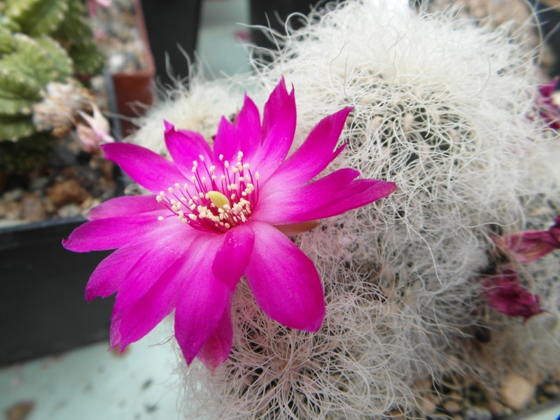 Cacti and Sukkulent in Köln, every day new flowers in the greenhouse Part 55 Bild_403
