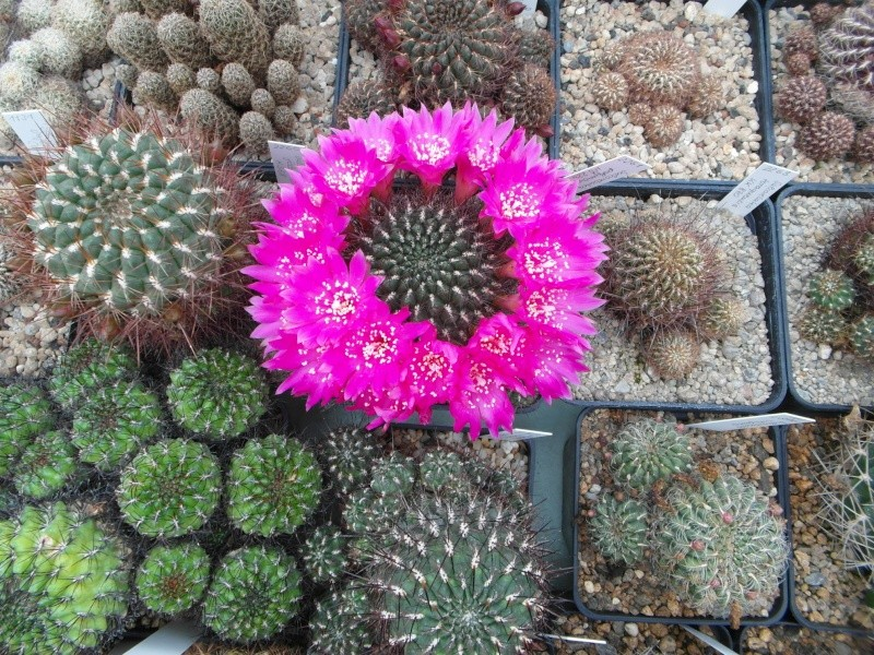 Cacti and Sukkulent in Köln, every day new flowers in the greenhouse Part 54 Bild_415
