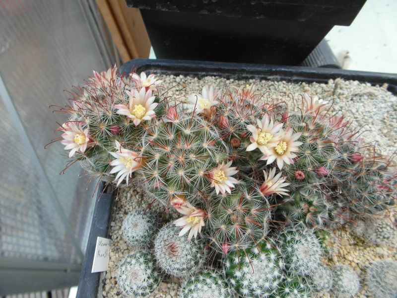 Cacti and Sukkulent in Köln, every day new flowers in the greenhouse Part 55 Bild_422