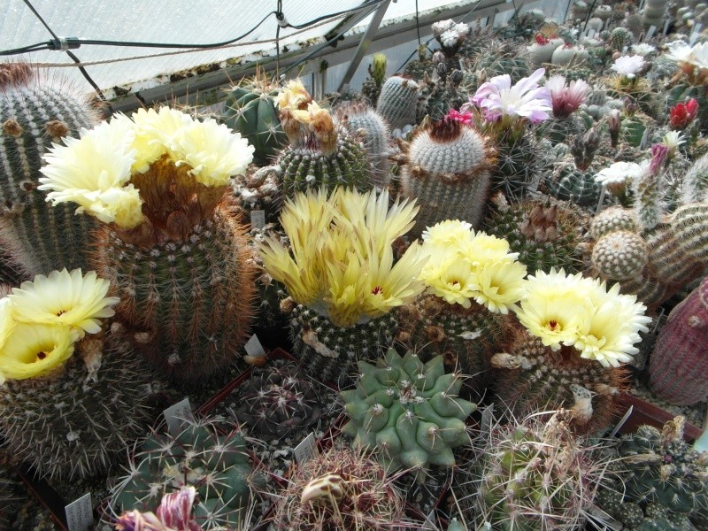 Cacti and Sukkulent in Köln, every day new flowers in the greenhouse Part 55 Bild_426