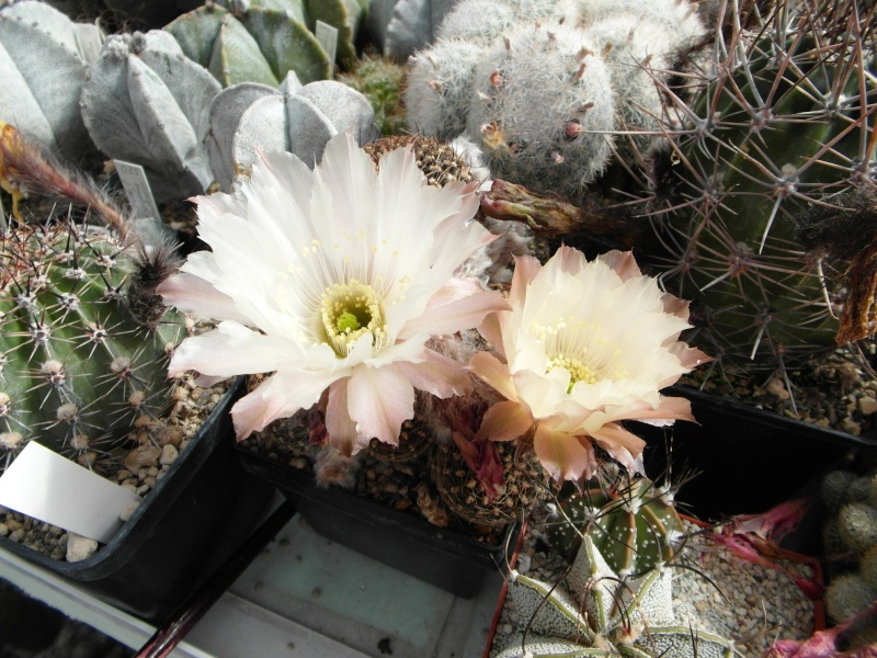 Cacti and Sukkulent in Köln, every day new flowers in the greenhouse Part 56 Bild_436