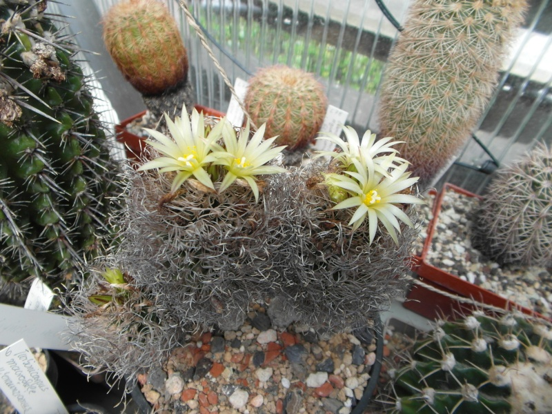 Cacti and Sukkulent in Köln, every day new flowers in the greenhouse Part 56 Bild_455