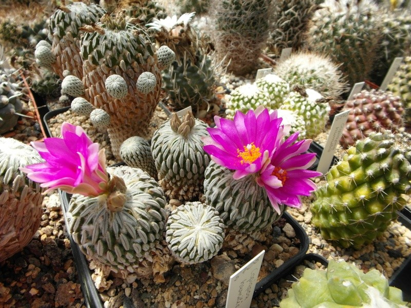 Cacti and Sukkulent in Köln, every day new flowers in the greenhouse Part 56 Bild_456