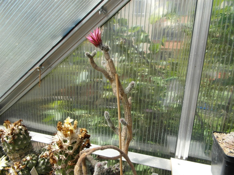 Cacti and Sukkulent in Köln, every day new flowers in the greenhouse Part 56 Bild_459