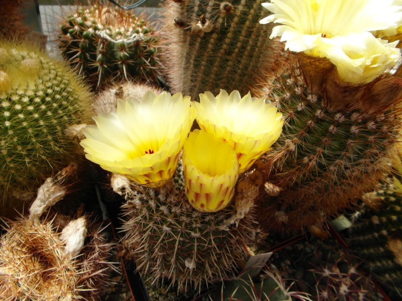 Cacti and Sukkulent in Köln, every day new flowers in the greenhouse Part 56 Bild_463