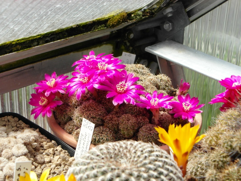 Cacti and Sukkulent in Köln, every day new flowers in the greenhouse Part 56 Bild_468